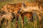 Spotted hyenas, Crocuta crocuta, Masai Mara National Reserve, Kenya