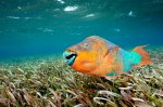 Stoplight Parrotfish on sea grass bed in Hol Chan Marine Reserve, Belize
